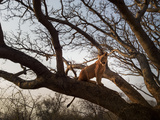 A Habituated Lion in Zambia