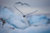 An Arctic Tern Flies High over Glacier Bay in Iceland