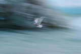 A Long Exposure of an Arctic Tern Flying over Glacier Bay in Iceland