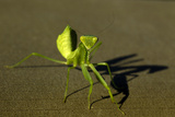 Close Up of a Praying Mantis