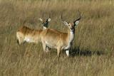 A Red Lechwe Antelope  Kwetsani Camp  Botswana