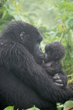 Portrait of Mountain Gorilla  Gorilla Beringei Beringei  Embracing its Young