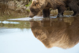 A Brown Bear  Ursus Arctos  Reflected on the Surface of the Water