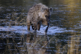 Spotted Hyena Crossing Water  Upper Vumbura Plains  Botswana
