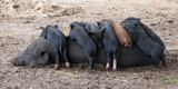 Piglets Sleep on Top of an Adult Pig