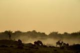 Silhouette of Lechwe  Kobus Leche  Grazing at Sunset
