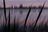 Katetogama Lake with Cattail Plants  Typna Latifolia  in the Early Morning