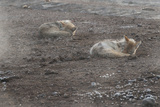 A Pair of Coyotes  Canis Latrans  Sleeping in Yellowstone National Park