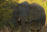 An African Elephant in South Africa's Timbavati Game Reserve