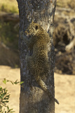 A Leopard Cub Climbs a Tree in South Africa's Timbavati Game Reserve