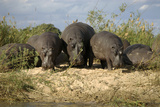 Hippopotamuses Feeding Along the Shoreline  Zambia
