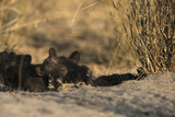 An African Wild Dog Pup Sits Away from the Sleeping Pack and Scratches Itself