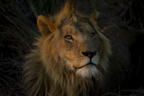 A Male Lion  Panthera Leo  with the Light from the Setting Sun on His Face