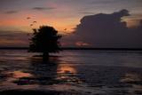 Scarlet Ibises Fly Through the Orange Sky at Sunset over Orinoco River Delta  Venezuela