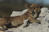 A Lion  Panthera Leo  Cub Lying on an Anthill Scratching its Face