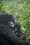Mountain Gorilla  Gorilla Beringei Beringei  Embracing its Young