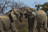 A Pair of African Elephants Tangle Trunks in South Africa's Timbavati Game Reserve