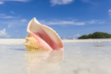 A Colorful Conch Shell Sits on a Sandbar During Low Tide in the Florida Keys