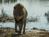 A Lion  Panthera Leo  Walking Out of a Spillway