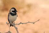 Sparrow in Area of Sossusvlei Dunes  Namibia
