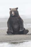 Brown Bear Sitting on Sand at Silver Salmon Creek Lodge in Lake Clark National Park