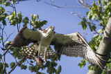 An Osprey  Pandion Haliaetus  in Flight with a Fish in its Talons