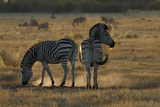 Two Zebras  Selinda Camp  Botswana