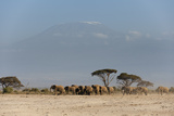 Herd of African Elephants  Loxodonta Africana  with Mount Kilimangiaro in the Background