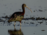 A Glossy Ibis  Plegadis Falcinellus  Wading in Water