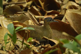 A Great Tinamou Blends into the Brown Leafs of the Forest Floor on Barro Colorado Island
