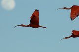 Scarlet Ibises Fly Though the Sky with the Moon Behind in Delta Amacuro  Venezuela