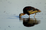 A Glossy Ibis  Plegadis Falcinellus  Foraging in the Water