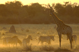 Zebras  and Giraffe  Selinda Camp  Botswana