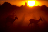 Silhouette of Lechwe  Kobus Leche  in the Early Morning Light