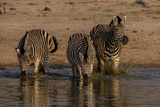 Three Zebras  Equus Quagga  Walking into the Spillway for Drinking Water