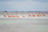 Pink American Flamingo Habitat at the Flamingo Salt Pond  Turks and Caicos