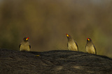 Three Yellow-Billed Oxpeckers Perch on Top of an African Buffalo  Syncerus Caffer