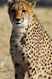 Close-Up of a Cheetah  the Cheetah Conservation Fund  Namibia