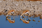 Two Springbok Antelopes Drink at the Edge of a Waterhole  Etosha National Park  Namibia