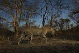 A Remote Camera Captures a Leopard in South Africa's Timbavati Game Reserve