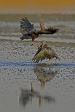 Two Glossy Ibis  Plegadis Falcinellus  Fighting to Determine Who Is the Alpha Male