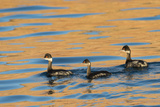 Three Black Neck Grebes Swimming at Sunset at Ensenada Grande