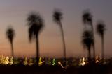 California Fan Palm Tree  Washingtonia Filifera  in Joshua Tree National Park