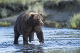 Brown Bear Wading in Water at Silver Salmon Creek Lodge in Lake Clark National Park
