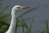 Close-Up of a Cattle Egret  Bubulcus Ibis  Looking over the Water