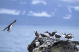 Atlantic Puffins on a Rock at Vigur Island in Isafjordur Bay