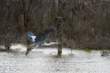 A Grey Heron  Ardea Cinerea  in Flight