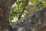A Leopard Cub Waits Safely in a Tree for its Mother's Return from Hunting in South Africa