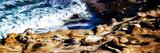 La Jolla Sea Lions II Reproduction d'art par Alan Hausenflock