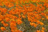 California Poppies I